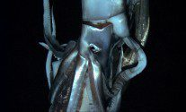 The Kraken Unveiled! Discovery Channel Aires Footage of Giant Squid [VIDEO]